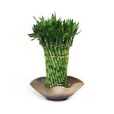 بامبو ارزان