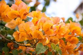 گل کاغذی طلایی