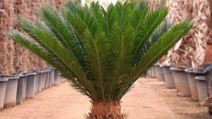 گیاه سیکاس
