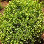 درخت شمشاد سبز