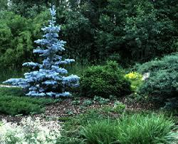 درخت کاج نوئل ابی