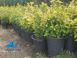 قیمت شمشاد طلایی سطل 4