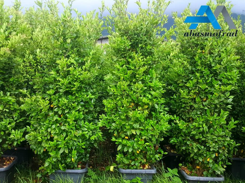 فروش درخت یاس هلندی